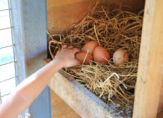 Child hand keeping eggs lie on the hay in wood box in farm.