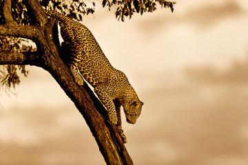 Wall Mural - Leopard Bahati climbing down from the tree in Masai Mara, Kenya