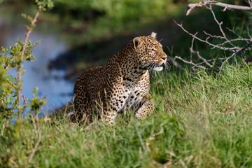 Wall Mural - Big Leopard of Sand River on the way to hunt in Masai Mara, Kenya