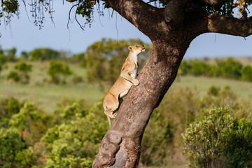 Wall Mural - Big Lioness climbing on a tree in Masai Mara, Kenya