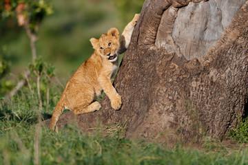 Wall Mural - Lion cub likes to climb on a big tree in Masai Mara, Kenya