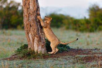 Wall Mural - Lion cub sharpens his claws on the tree in Masai Mara, Kenya