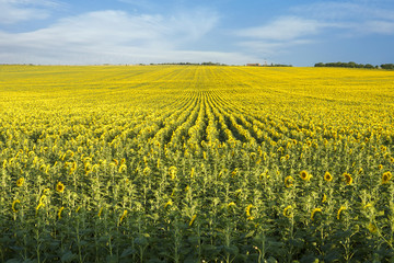 Wide sunflowers field against blue sky, place for text