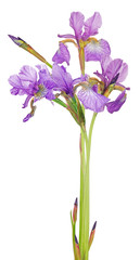 bunch of small lilac iris flowers on white