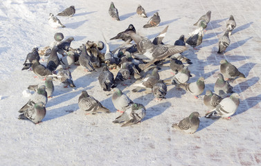 Flock of pigeons and lonely crow on snow-covered square