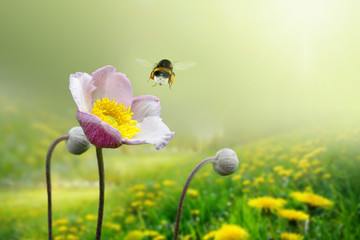 Wall Mural - Beautiful pink anemone flower on  spring yellow meadow and flying bumblebee macro on soft blurry light green background. Concept hot summer in sunshine in nature, bright warm soulful artistic image.