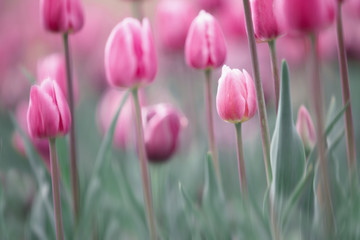 Blurry tulips flower garden at the spring season.