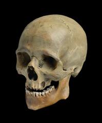Skull of the human