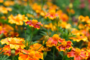 Background of orange marigolds. Spring and summer theme