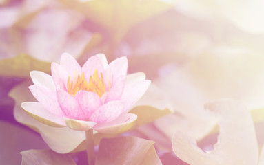 Garden Poster Lotus flower Pink waterlily in the garden soft blur background in pastel tones.