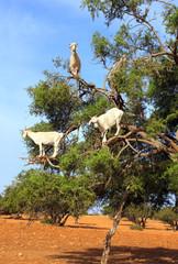 Goats on the argan tree, Morocco