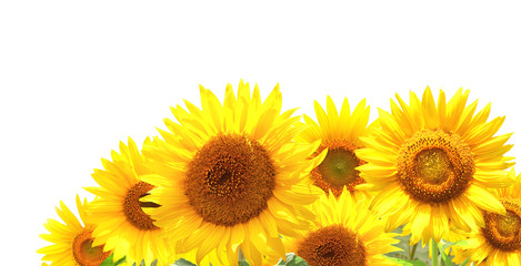 Wall Mural - Bright yellow sunflowers