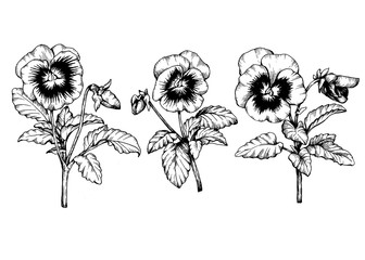 Set graphic the branch of the garden pansy flower (Violet, Viola, heartsease, kiss-me-quick, stepmother, flammola). Black and white outline illustration hand drawn work, isolated on white background.