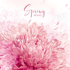 Pink, red and white Chrysanthemums background