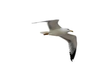 Isolated gull (Laridae) over a white background.