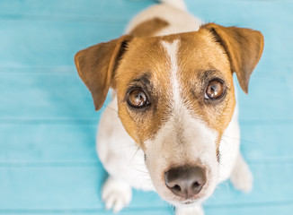 Cute small dog Jack Russell Terrier is sitting on blue wooden floor and looking up to camera.