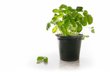Basil plant in a pot, fresh potted kitchen herb on a light marble plate, isolated with shadow on a white background, copy space