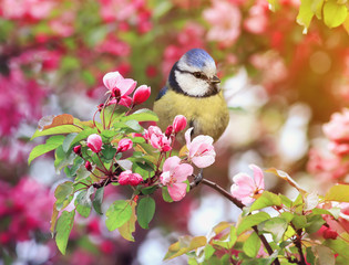 Fototapeta premium bird titmouse sitting in the garden among the flowering branches of pink cherry blossom in spring