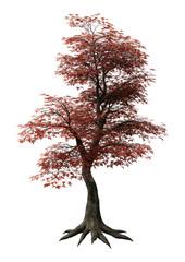 3D Rendering Japanese Maple Tree on White
