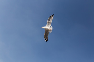 Slender-billed Gull flying