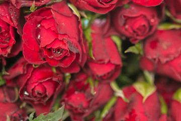 Natural red roses background. using as Valentines Day background, wedding day, Symbol of Valentine's day.