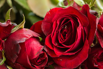 Close up Natural red roses and water drops. using as Valentines Day background, wedding day, Symbol of Valentine's day.