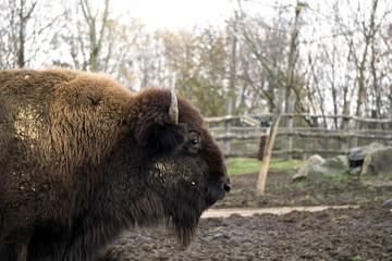 Fototapeta Side portrait of buffalo inside its zoo enclosure