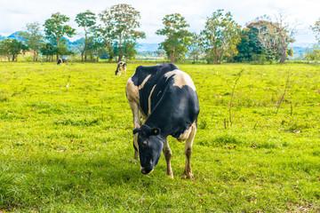 PR Cow 28