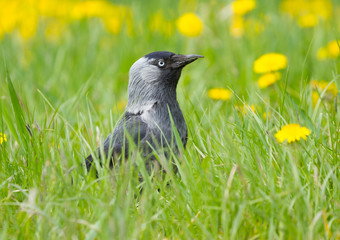 Black jack daw on the grass