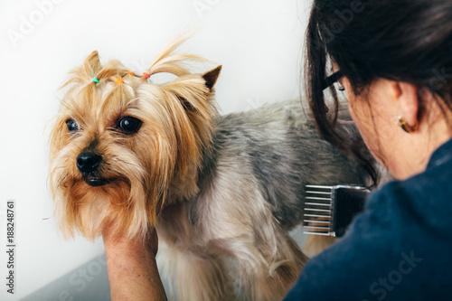 Yorkshire Terrier In The Grooming Salon Groomer Grooming Dog