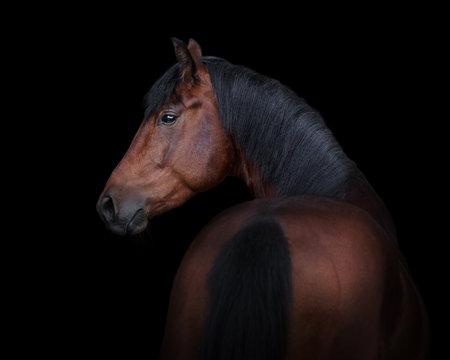 Bay horse look back isolated on black background