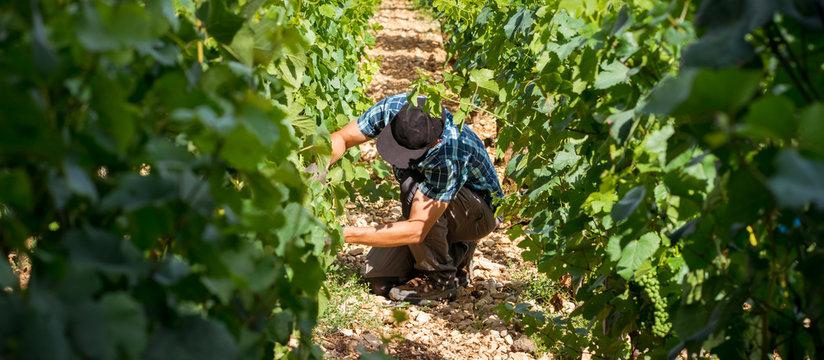 viticulteur dans ses vignes