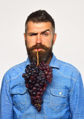 Winegrower with confused face holds cluster of grapes in mouth.