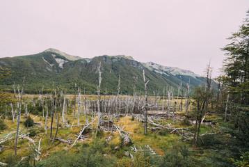 Dead trees caused by beavers, invasive species, near Ushuaia, Tierra del Fuego, Patagonia, Argentina, South America