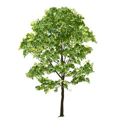 Big maple with green leaves in the summer