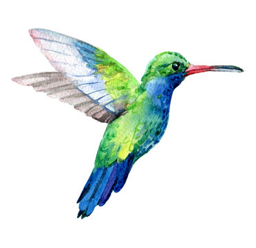 Humming bird, exotic birds isolated on white background, watercolor illustration