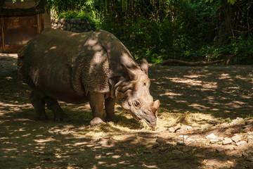 Big rhinoceros have a dinner