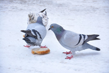 Pigeon eating bread on snow. Feeding of pigeons in winter time