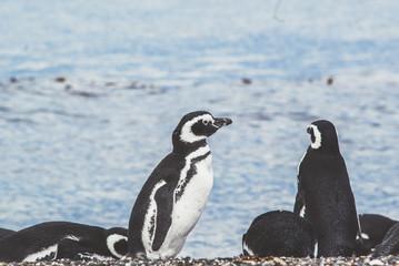 Magellanic Penguin, Spheniscus magellanicus, Valdes Peninsula, Patagonia, Argentina.