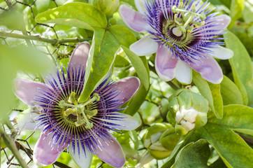 Beautiful passiflora caerulea. Tropical passion flower