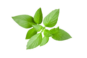 Fresh green leaves of Thai lemon basil or hoary basil tropical herb plant isolated on white background, clipping path included.
