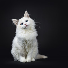 Wall Mural - Blue eyed ragdoll cat / kitten sitting isolated on black background looking very sweet