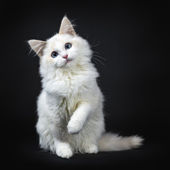Fototapeta Blue eyed ragdoll cat / kitten sitting isolated on black background looking at the lens with tilted head and lifted paw obraz
