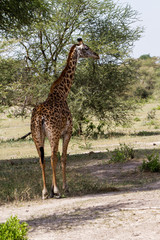 The giraffe (Giraffa), genus of African even-toed ungulate mammals, the tallest living terrestrial animals and the largest ruminants,