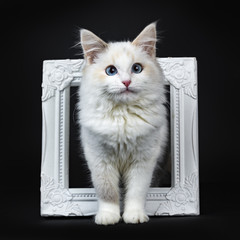 Blue eyed ragdoll cat / kitten standing in photoframe isolated on black background facing camera