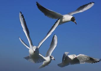 SEAGULLS - Flock of sea birds against the sky