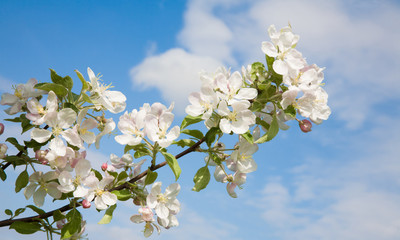 Wide background sky With Branch of Apple blossoms