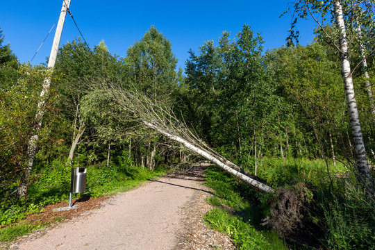 Fallen trees hang on power line after a storm