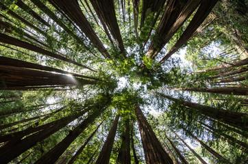Mighty Redwoods
