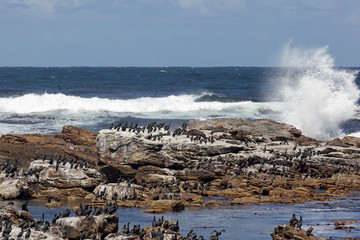 Seals and Cormorants at the Cape of Good Hope